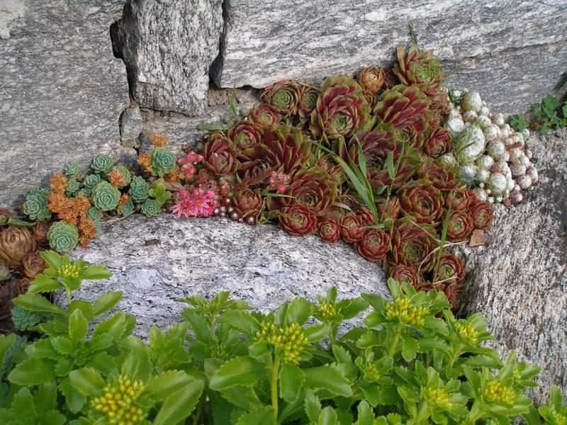 Le piante grasse piante succulente for Piante grasse ornamentali